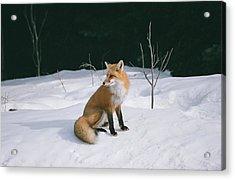 Winter Fox Acrylic Print by David Porteus