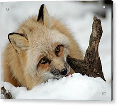 Winter Fox 2 Acrylic Print by Richard Bryce and Family