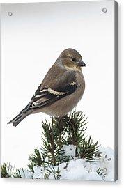 Winter Goldfinch Acrylic Print