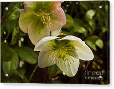 Winter Hellebore Acrylic Print by Maria Janicki