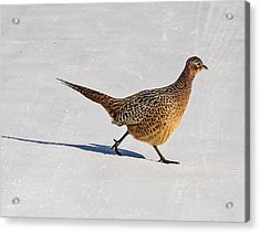 Winter Hen Acrylic Print