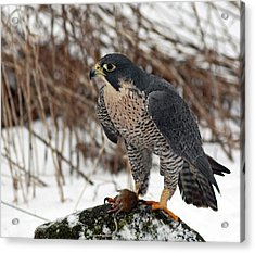 Winter Hunt Peregrine Falcon In The Snow Acrylic Print by Inspired Nature Photography Fine Art Photography
