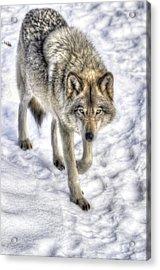 Winter Hunter Acrylic Print