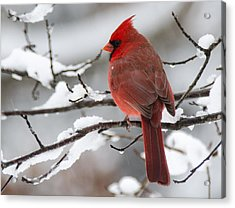 Winter In Red Acrylic Print