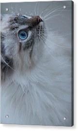 Winter Kitty Acrylic Print by Alicia Knust