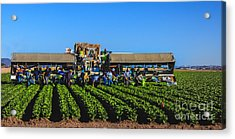 Winter Lettuce Harvest Acrylic Print by Robert Bales