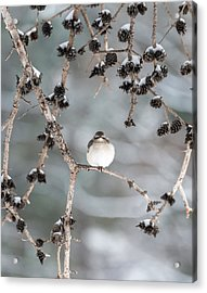 Winter Mockingbird Acrylic Print