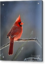 Winter Morning Cardinal Acrylic Print