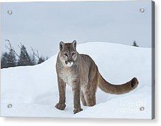 Winter Mountain Lion  Acrylic Print