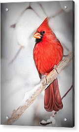 Winter Northern Cardinal Acrylic Print by Jana Thompson