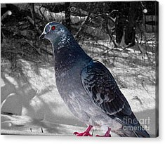 Acrylic Print featuring the photograph Winter Pigeon by Nina Silver