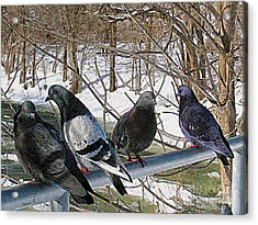 Winter Pigeon Party Acrylic Print