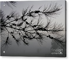 Winter Pine Branch Acrylic Print by Bev Conover