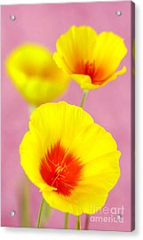 Winter Poppies Acrylic Print by Douglas Taylor