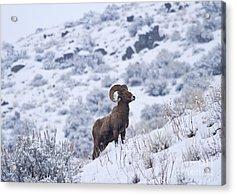 Winter Ram Acrylic Print by Mike  Dawson