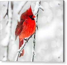 Winter Red Acrylic Print