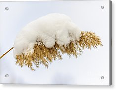 Winter Reed Under Snow Acrylic Print by Elena Elisseeva