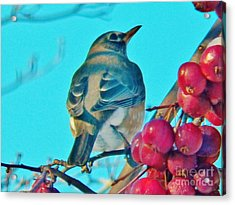 Winter Robin And Crabapples Acrylic Print