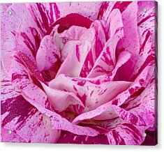 Acrylic Print featuring the photograph Winter Rose  by Heidi Smith