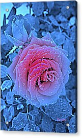 Winter-rose Acrylic Print