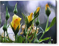 Winter Roses Acrylic Print by Jan Amiss Photography