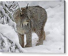 Winter Splendor- Canadian Lynx Acrylic Print by Inspired Nature Photography Fine Art Photography