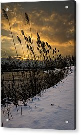 Winter Sunrise Through The Reeds Acrylic Print