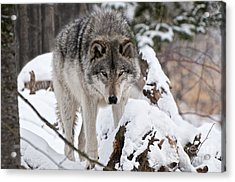 Acrylic Print featuring the photograph Winter Timber Wolf by Wolves Only