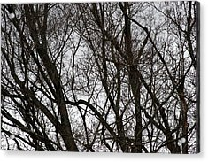 Winter Trees Number One Acrylic Print by Paula Tohline Calhoun