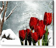 Winter Tulips Acrylic Print by Morag Bates