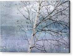 Winter White Birch  Acrylic Print