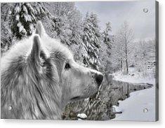 Winter Wolf Acrylic Print by Lori Deiter