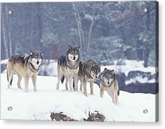 Winter Wolf Pack Acrylic Print