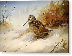 Winter Woodcock Acrylic Print by Mountain Dreams
