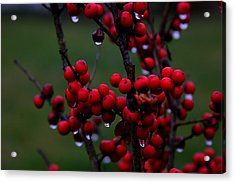 Winterberry Bush After The Rain Number 1 Acrylic Print by Paula Tohline Calhoun