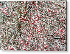 Winterberry During A Snowfall Acrylic Print