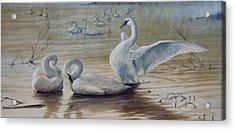 Wintering Trumpeters Acrylic Print by Rob Dreyer