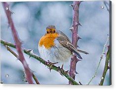 Winters Here Acrylic Print