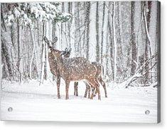 Winters Love Acrylic Print