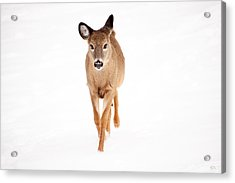Winters Young Acrylic Print by Karol Livote