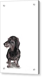 Wirehaired Dachshund - Rauhaardackel Acrylic Print by Barbara Marcus