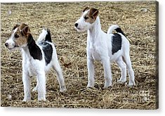 Wirehaired Fox Terrier  Acrylic Print