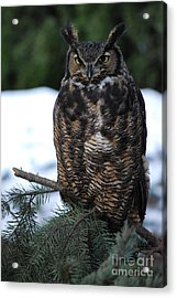 Acrylic Print featuring the photograph Wise Old Owl by Sharon Elliott