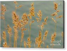 Wispy Grass Acrylic Print by Sarah Crites