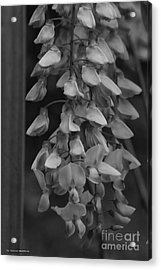 Wisteria Blooms Bw Acrylic Print by Tannis  Baldwin