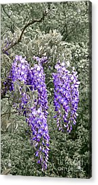 Wisteria Blossom Clusters Abstract Acrylic Print by Byron Varvarigos
