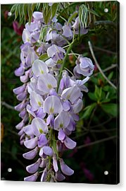 Acrylic Print featuring the photograph Wisteria Blossoms by MM Anderson