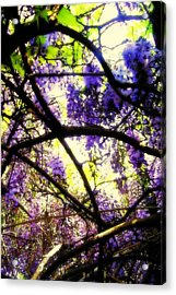 Wisteria Branches Acrylic Print