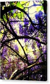 Wisteria Branches Acrylic Print by Jodie Marie Anne Richardson Traugott          aka jm-ART