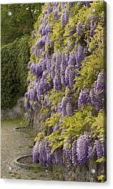 Acrylic Print featuring the photograph Wisteria by Colleen Williams